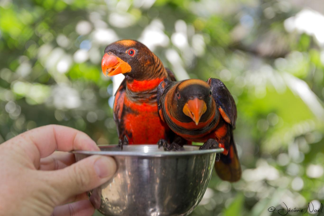 Bali Bird Park - Papa donne à manger