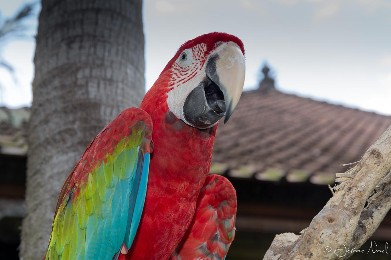 Bali Bird Park - Perroquet 1