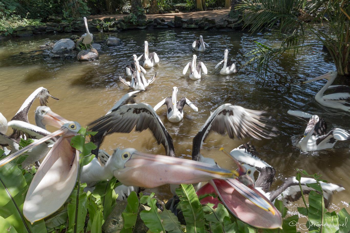 Bali Bird Park - Repas des pélicans