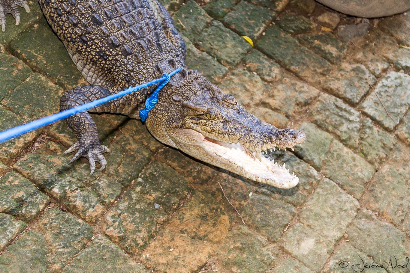 Bali Reptile Park - alligator
