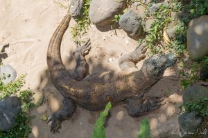 Bali Reptile Park - Dragon de Komodo