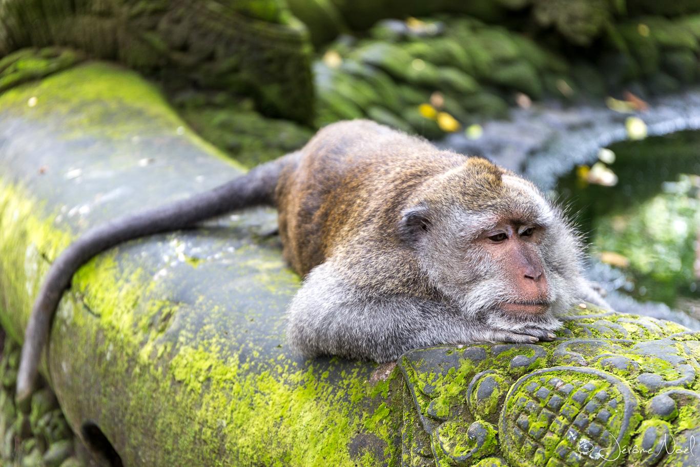 Monkey Forest - fatigué ...