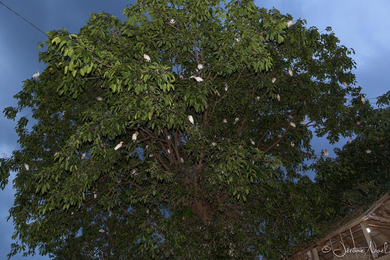 Petulu - Arrivée massive de hérons blancs