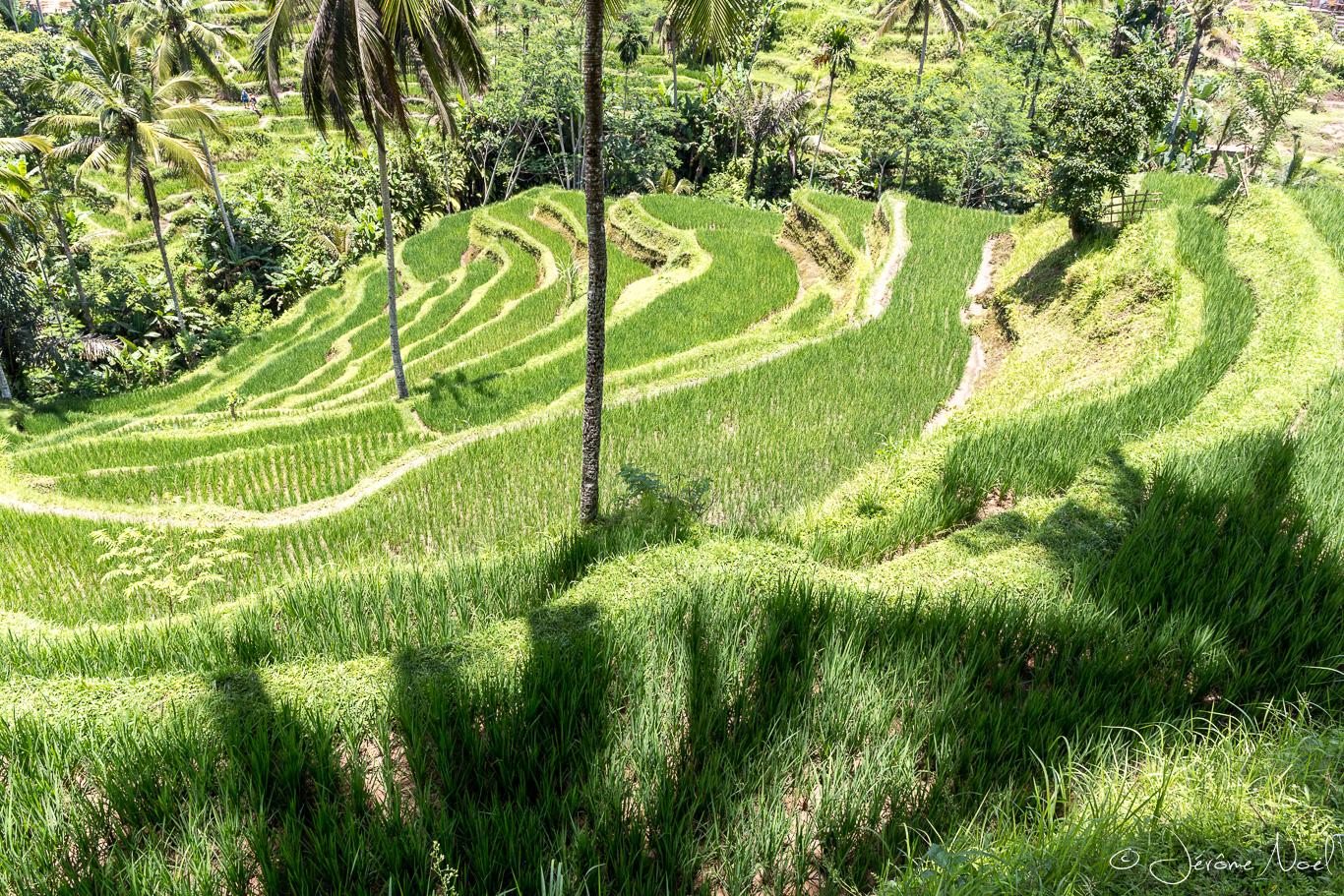 Pujung - rizières